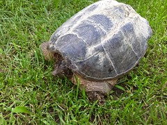 animal, turtle, reptile, fauna, common snapping turtle, wildlife, tortoise,