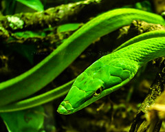 animal, western green mamba, reptile, macro photography, green, fauna, close-up, scaled reptile,