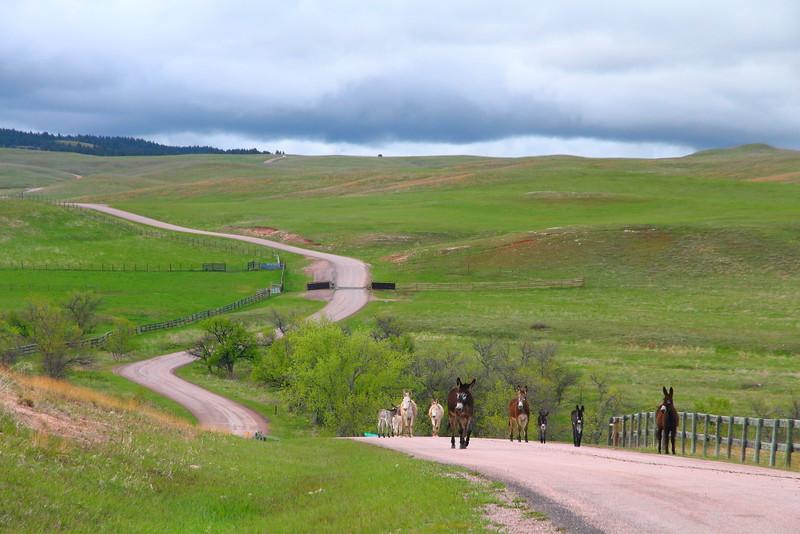 IMG_8779 Burros, Custer State Park