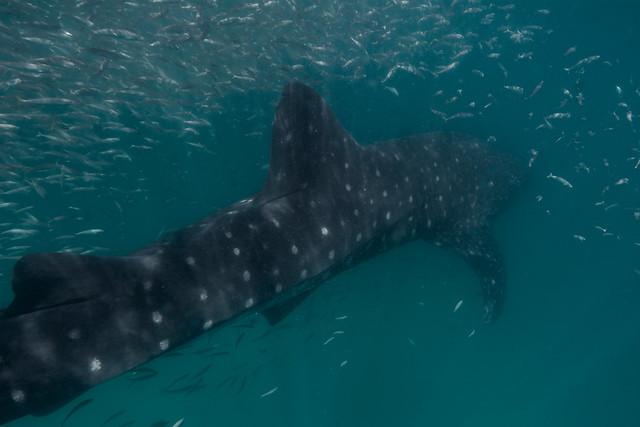 Whale shark, Yucatan, Mexico