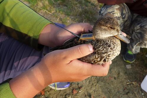 小水鴨背負發報器,期待揭開遷徙路徑之謎。(圖片來源:台江國家公園管理處)