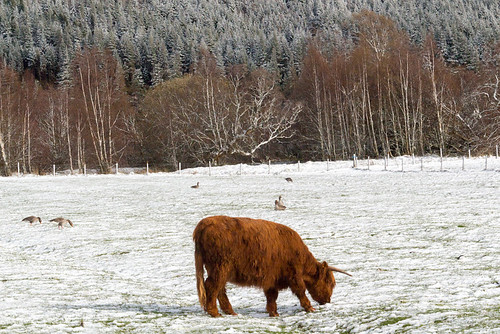 cow and snow
