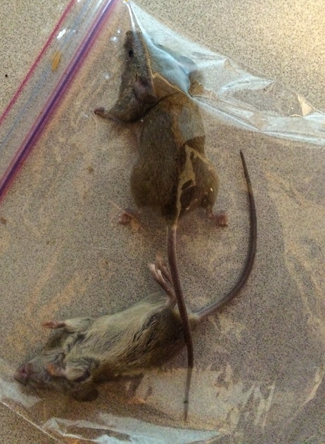 Pair of Dead Mice