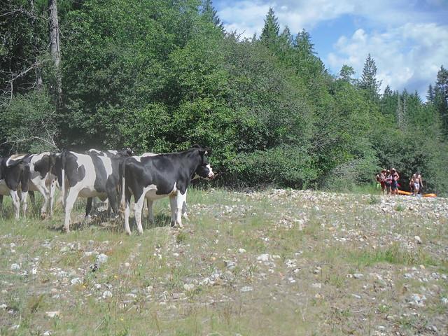 17 cows