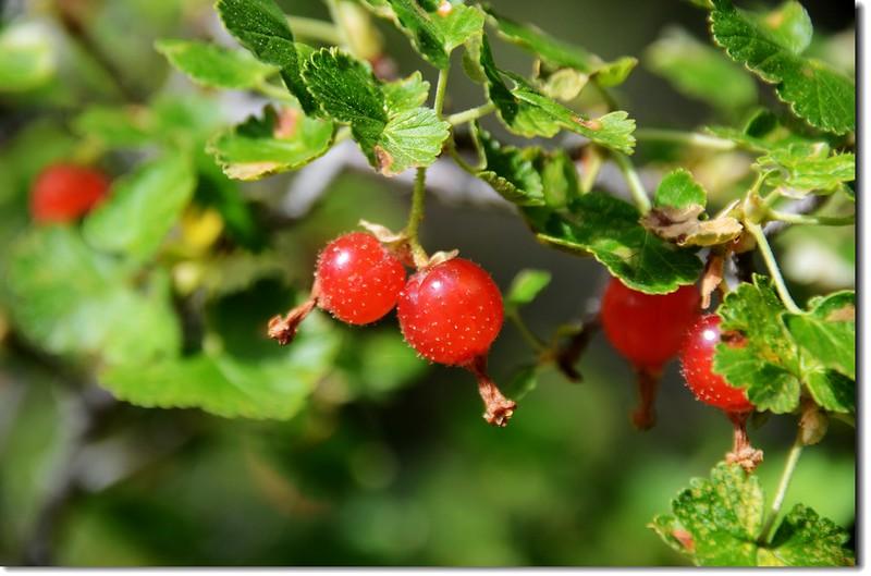 Wax Currant (Ribes cereum) Fruit