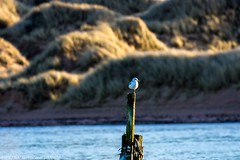 Sea Gull giving its Leg a Rest at the Ythan , Aberdeenshire