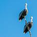 pelicans por plucciola