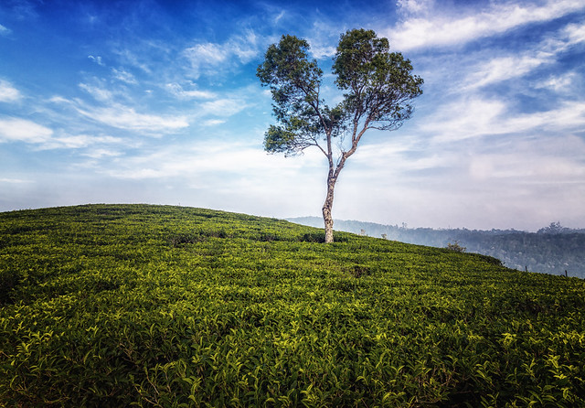 lonesome tree in munnar tea gardens-