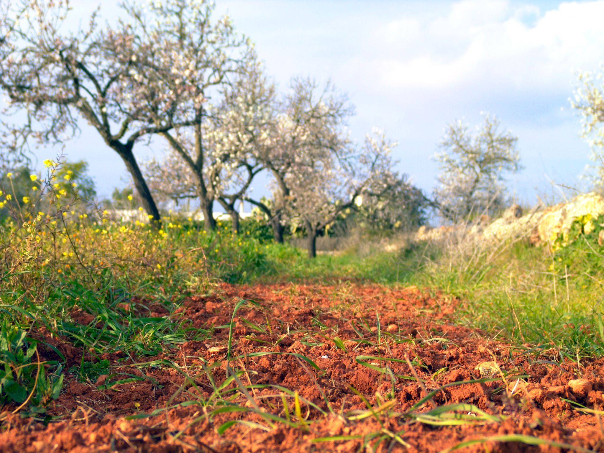 Ibiza: Almond trees blooming on red soil.