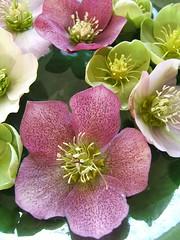 flower, hellebore, flora, floristry, pink, petal,