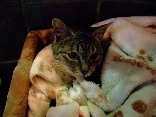 Cat in a blanket