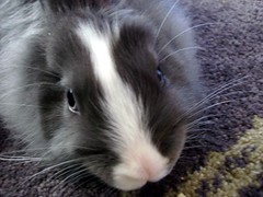 nose, animal, guinea pig, domestic rabbit, pet, mammal, fauna, whiskers,
