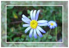 Blue-yellow flower