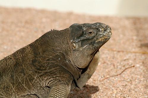 牙買加鬣蜥(Cyclura collei)生活在牙買加波特蘭海岸線保護區Hellshire山區,屬於極度瀕危物種。(Alan Wolf)