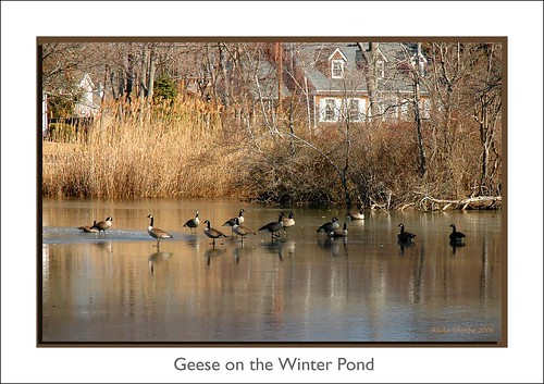 geese on the winter pond by Alida's Photos