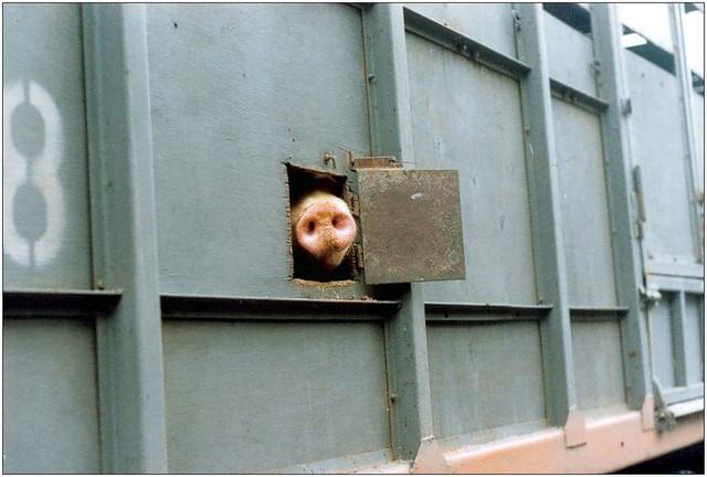 cochon censure moyen-orient