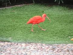 flamingo(0.0), animal(1.0), water bird(1.0), fauna(1.0), beak(1.0), ibis(1.0), bird(1.0),