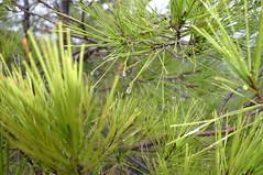 flower(0.0), grass(0.0), saw palmetto(0.0), lawn(0.0), larch(1.0), evergreen(1.0), branch(1.0), leaf(1.0), tree(1.0), casuarina(1.0), plant(1.0), chrysopogon zizanioides(1.0), flora(1.0), biome(1.0), vegetation(1.0), spruce(1.0),