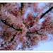 Cherry (2006)