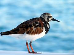 animal, charadriiformes, wing, fauna, ruddy turnstone, sandpiper, beak, bird, wildlife,