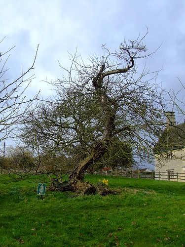Newton's Apple Tree - Woolsthorpe Manor, Lincolnshire