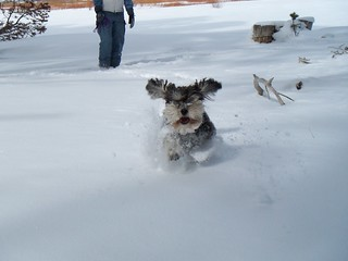 Loki the snow schnoodle