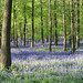 Bluebells Ashridge