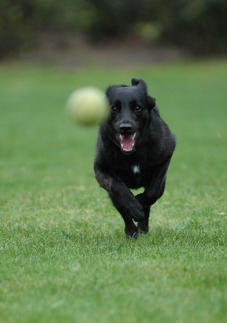 Dog running after tennisball