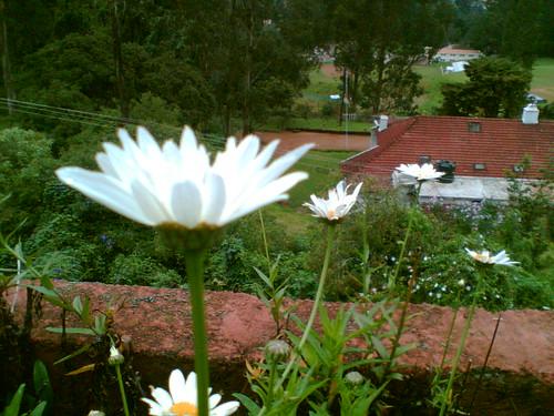ooty flower