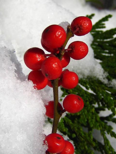 Wintry Berries