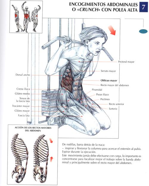 todos los musculos y todos sus ejercicios para el gym