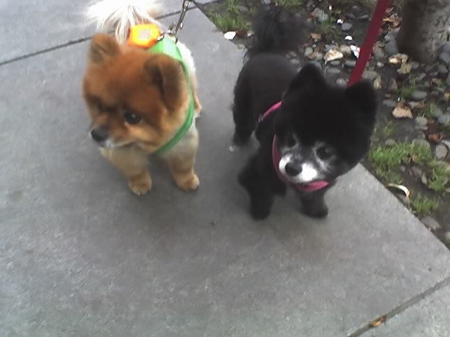 Are Pomeranians Good Dogs To Get