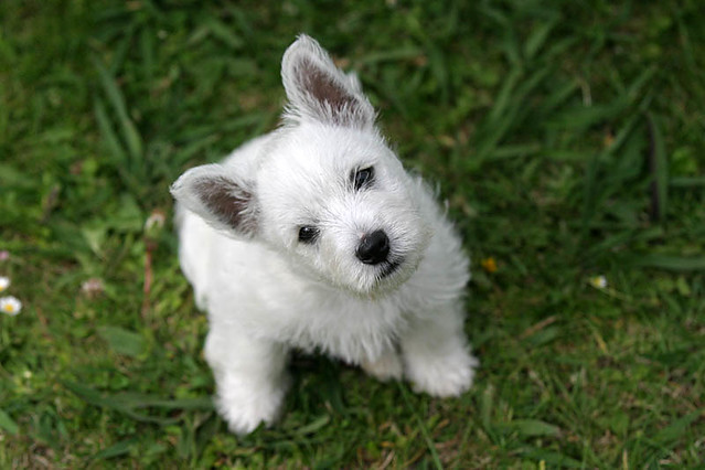 Adorable Westie Cute Funny Puppy West Highland White Terrier