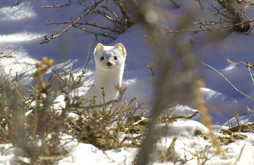 Long Tail Weasel or Ermine