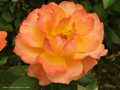Peach Yellow Rose