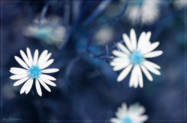 Blue Daisy Flowers Blue Daisy Flowers Flickr