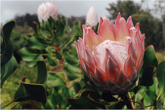 King Protea Open King Protea Flowers Are Grown On Maui