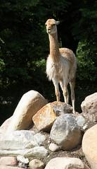 animal(1.0), mammal(1.0), llama(1.0), fauna(1.0), vicuã±a(1.0), guanaco(1.0), wildlife(1.0),