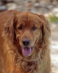 dog breed, animal, dog, boykin spaniel, pet, irish setter, golden retriever, carnivoran,
