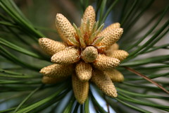 larch, evergreen, flower, leaf, tree, plant, flora, close-up, conifer cone, spruce,