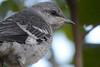 Northern Mockingbird Fledgling