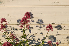 Red Valerian and  shadows