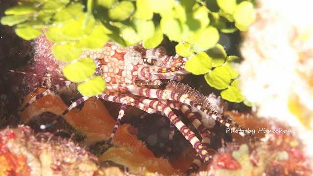 フシウデサンゴモエビ