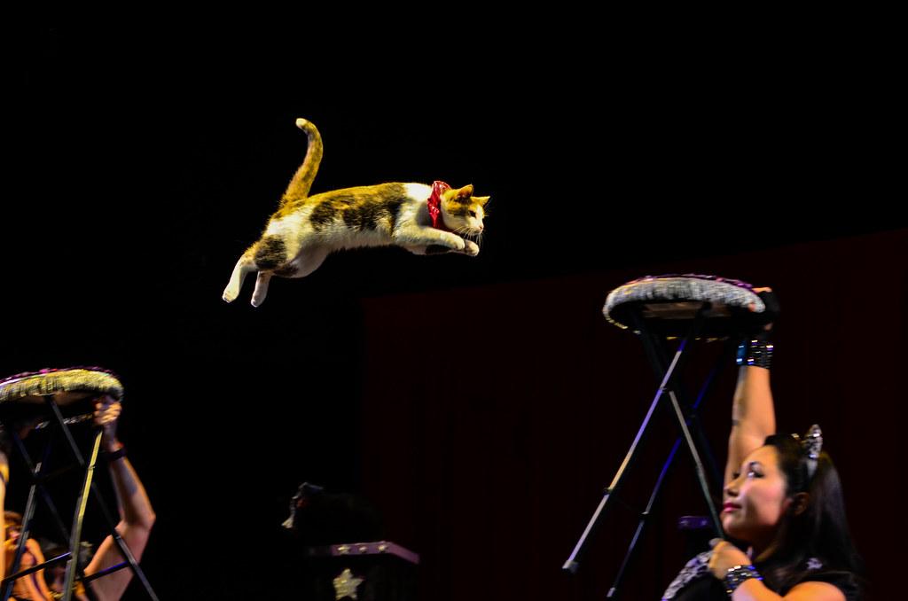A cat jumps between two stools