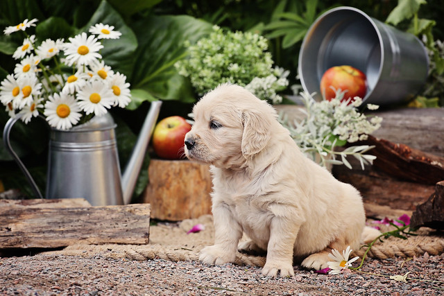 photos of puppies Golden Retriever