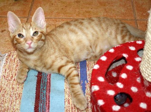Jerry, gatito rubio guapo muy dulce y bueno, esterilizado, nacido en Abril´15 en adopción. Valencia. ADOPTADO. 19384276833_4db1579b2f