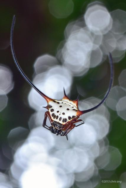 Long horn orb weaver (Macracantha arcuata)