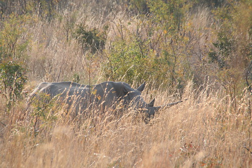 Rhino or Chubby Unicorn?