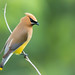 Great Smoky Mountains Cedar Waxwing, Newfound Gap, July 2015 by Ryan J Sanderson
