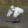 Snowy Egret (Egretta thula) 4 072915 by evimeyer